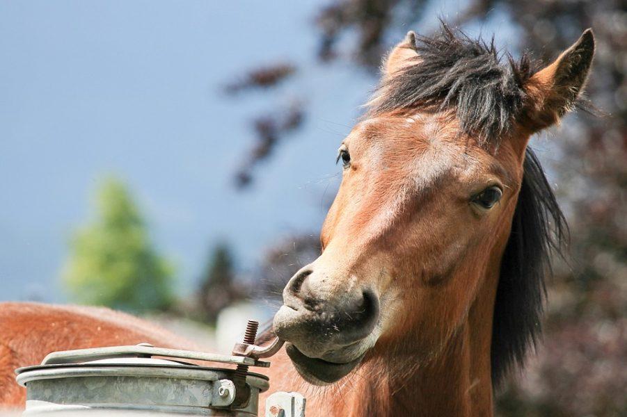 lustig-pferd