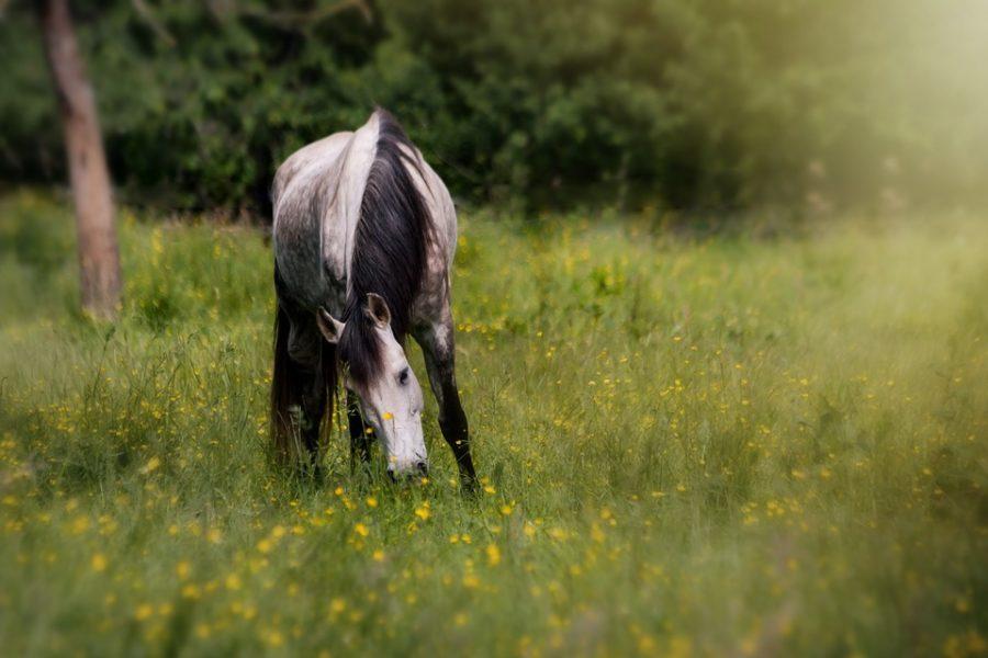 pferd-auf-gras