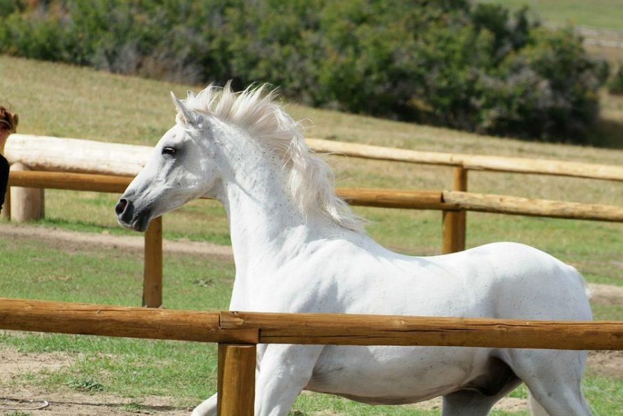 weißes-pferd